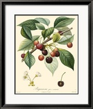 Cherries Poster by Bessa 
