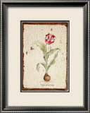 Tulipa Aureicoloris Prints by Lisa Canney Chesaux