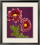 Purple and White Chrysanthemums Print by Elise Ferguson