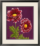 Purple and White Chrysanthemums Prints by Elise Ferguson