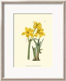Yellow Narcissus I Kunst von Van Houtt 