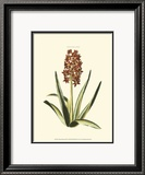 Antique Hyacinth XVI Prints by Christoph Jacob Trew