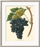 Grapes II Poster by Bessa 
