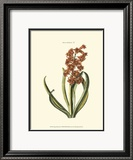 Antique Hyacinth V Print by Christoph Jacob Trew