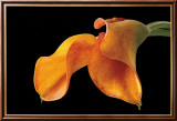 Double Orange Calla Posters par Amalia Veralli