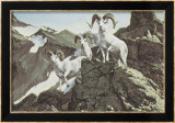Dall Sheep Poster von Ron Van Gilder
