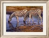 Zebras Drinking Posters by Clive Kay