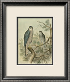 Sparrow Hawk Print by F.w. Frohawk