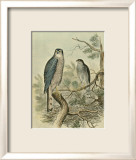 Sparrow Hawk Posters by F.w. Frohawk