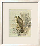 Peregrine Falcon Prints by F.w. Frohawk