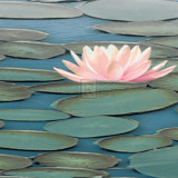 Lily Pool II Print by Adam Brock