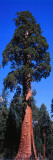 Giant Sequoia Stands Tall Photographic Print by Jeff Foott