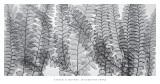 Maidenhair Ferns Plakater af Steven N. Meyers