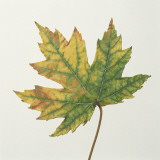 Close-Up of a Maple Leaf (Acer Saccharinum) Photographic Print by C. Dani