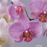 Close-Up of Moon Orchids (Phalaenopsis Amabilis) Photographic Print by G. Cigolini