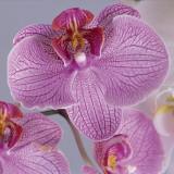 Close-Up of Moon Orchids (Phalaenopsis Amabilis) Photographic Print by G. Cigolini