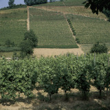 Vine Trees Growing in a Vineyard, Asti, Italy Photographic Print by A. Moreschi