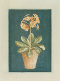 Auricula Orang&#233;e Posters by Laurence David