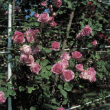 Close-Up of Roses on a Plant Photographic Print by A. Moreschi
