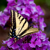 Tigertail Butterfly Photographic Print by Lawatha Wisehart