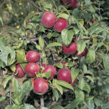 Crab Apples on a Tree (Malus Sylvestris) Photographic Print by A. Moreschi