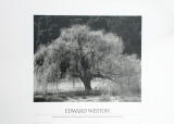 Willow Tree Print by Edward Weston