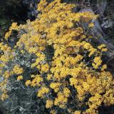 Close-Up of Silver Ragwort Flowers (Senecio Bicolor) Photographic Print by A. Moreschi