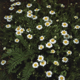 High Angle View of Roman Camomile Flowers (Anthemis Nobilis) Photographic Print by A. Moreschi