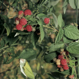Close-Up of Raspberries on a Tree (Rubus Idaeus) Photographic Print by A. Moreschi