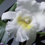 Close-Up of a Cattleya Flower Photographic Print by G. Cigolini