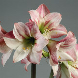 Close-Up of a Hippeastrum Flower Photographic Print by G. Cigolini