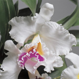Close-Up of Cattleya Flowers Photographic Print by G. Cigolini