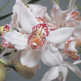 Close-Up of Cymbidium Flowers Photographic Print by G. Cigolini