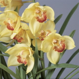 Close-Up of Cymbidium Flowers Reproduction photographique par G. Cigolini