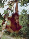 Bornean Orangutan Hanging from a Branch in a Forest, Tanjung Puting National Park Photographic Print by C. Dani I. Jeske