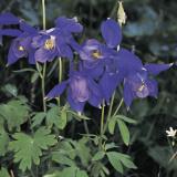 Close-Up of Colorado Blue Columbine Flowers (Aquilegia Caerulea) Photographic Print by A. Moreschi