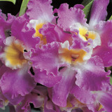 Close-Up of Purple Orchids Photographic Print by G. Cigolini