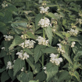 Close-Up of White Deadnettle Plants (Lamium Album) Photographic Print by A. Moreschi