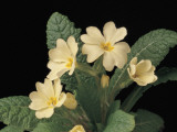 Close-Up of a Primrose Plant (Primula Vulgaris) Photographic Print by C. Delu