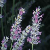 Close-Up of an English Lavender Plant (Lavandula Angustifolia) Photographic Print by A. Moreschi