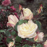 Close-Up of Safrano Roses Photographic Print by A. Moreschi