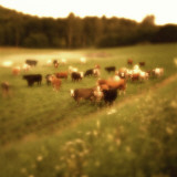 Cows in a Field in Sweden, Soft Focus Photographie par Urban Joren