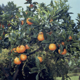 Close-Up of Sour Oranges on a Tree (Citrus Aurantium) Photographic Print by A. Moreschi