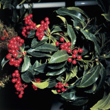 Close-Up of a Coral Ardisia Plant (Ardisia Crispa) Photographic Print by A. Moreschi