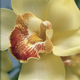 Close-Up of a Cymbidium Flower Papier Photo par G. Cigolini