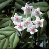 Close-Up of Hoya Bella Flowers Photographic Print by G. Cigolini