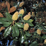 Close-Up of Southern Magnolia (Magnolia Grandiflora) Photographic Print by A. Moreschi