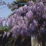 Low Angle View of Flowers on a Japanese Wisteria Plant (Wisteria Floribunda) Photographic Print by A. Moreschi