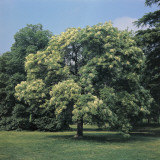 Flowering Ash Tree in a Field (Fraxinus Ornus) Photographic Print by A. Moreschi