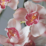 Close-Up of Cymbidium Flowers Papier Photo par G. Cigolini